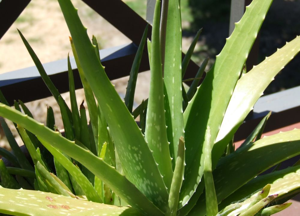 The Benefits of Aloe Vera: Fact or Fiction?